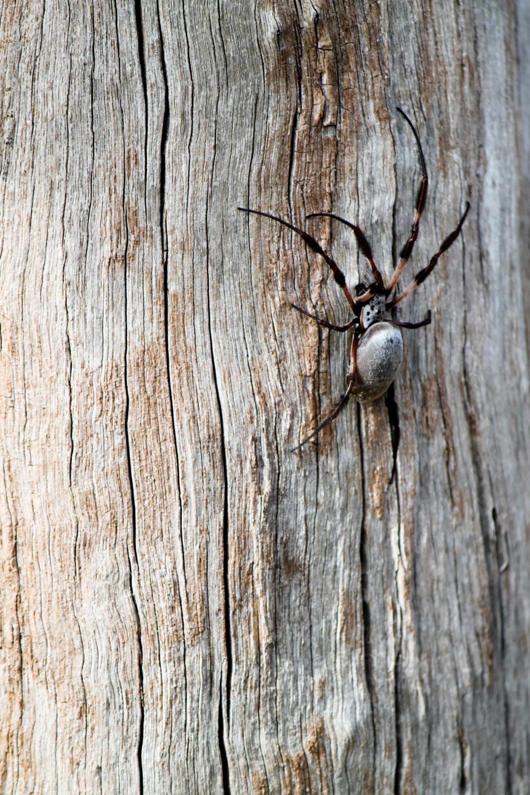 Eastern Golden Orb-Weaving Spider