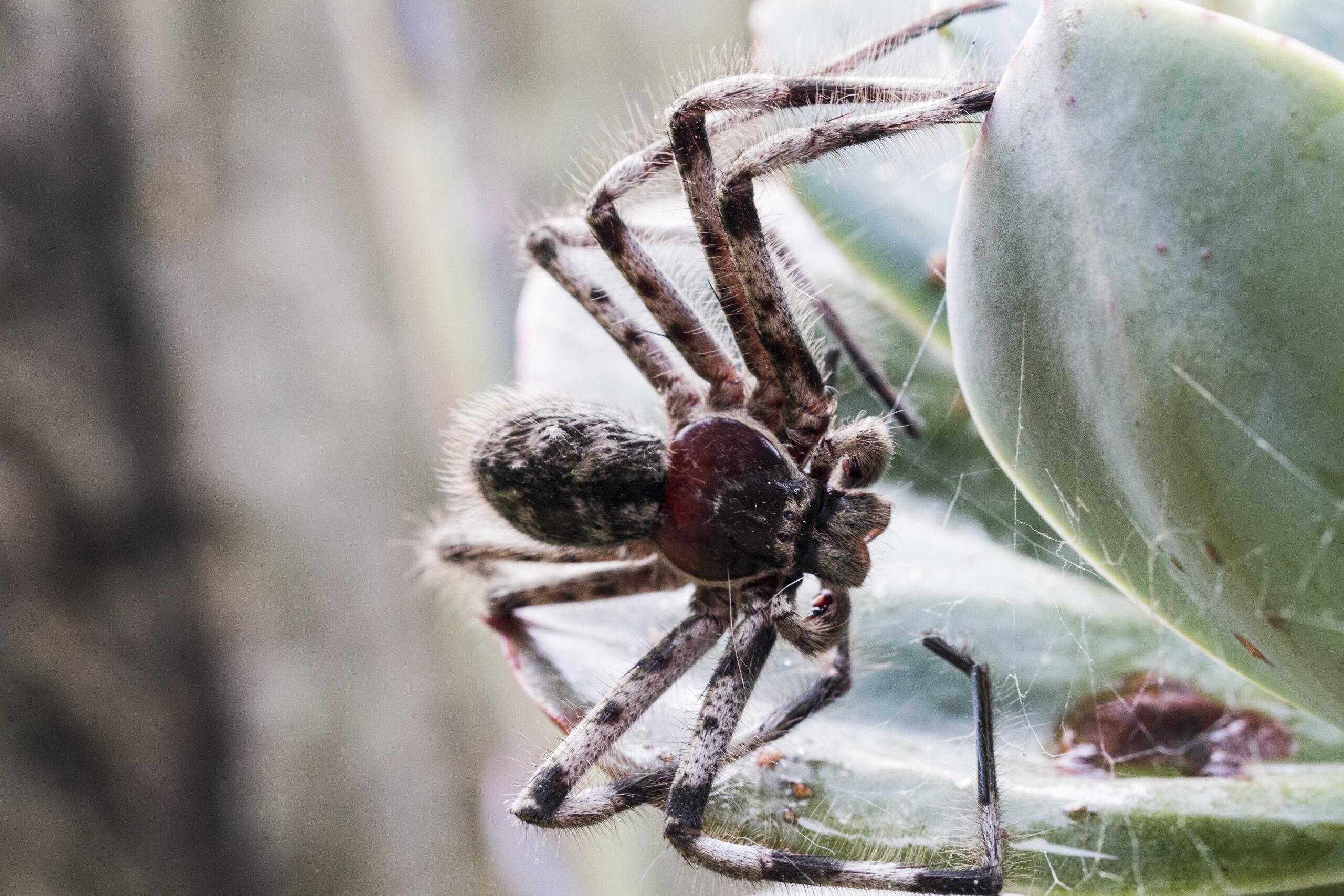 Banded Huntsman Spider