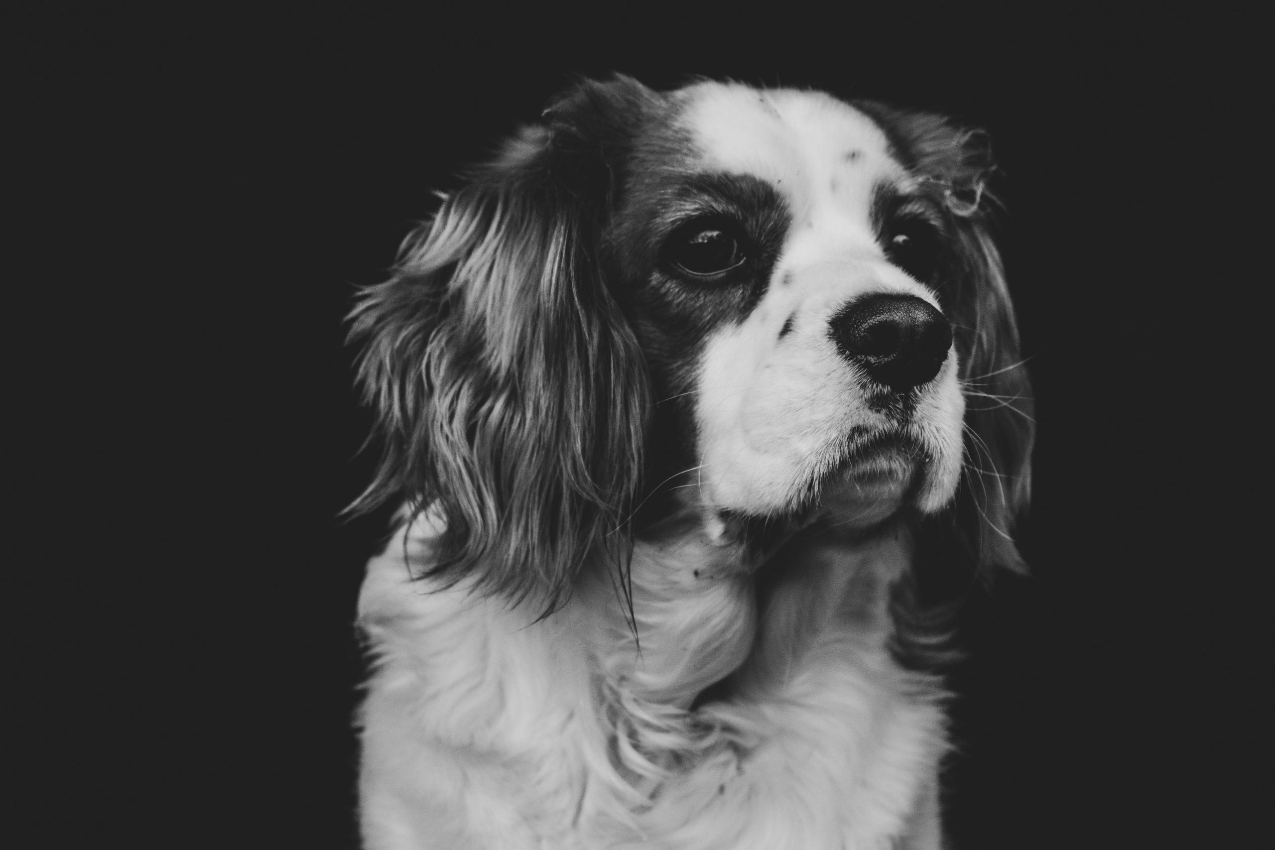Black and White Animal Portraits: Alice the King Charles Cavalier