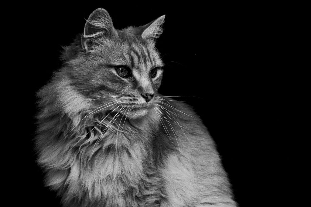 Black and White Animal Portraits: Kitdung the Cat